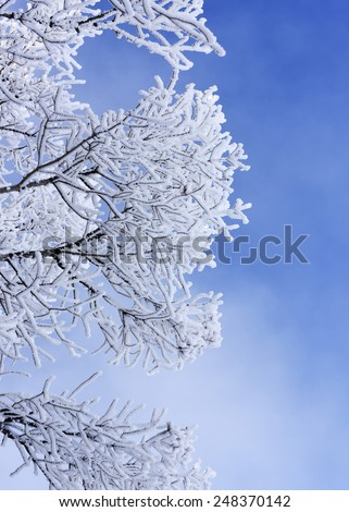 Frosted tree in Mammoth Hot Springs, Yellowstone National Park. - stock photo