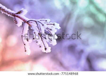 Frosty branch. The maple branch covered with hoarfrost. Photowall-paper, a background for the text.