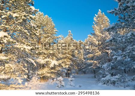 Frosty Glow Snowy Fir Trees  - stock photo