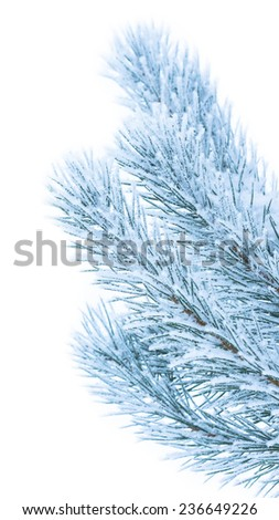 Frosty pine branch isolated on white background - stock photo