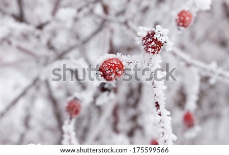Frosty rose hips close up - stock photo