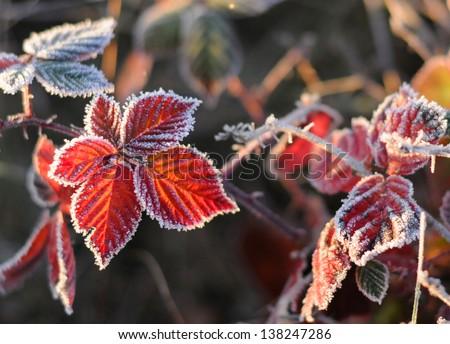 Frozen autumn blackberry leaves. - stock photo
