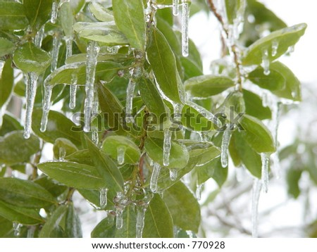 Frozen Bay Leaf - stock photo
