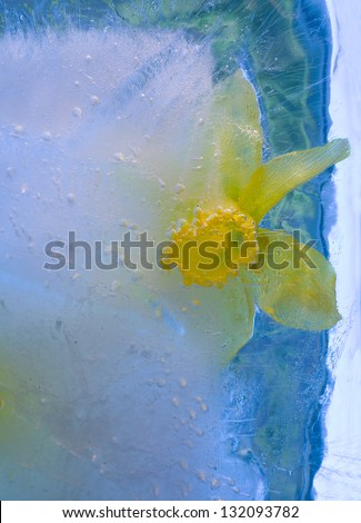Frozen beautiful  narcissus flower.  blossomsin the ice cube