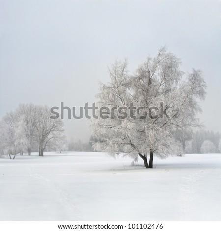 Frozen birch tree in the fog - stock photo