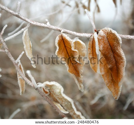 Frozen brown autumn leaves covered with frost closeup, winter nature background - stock photo
