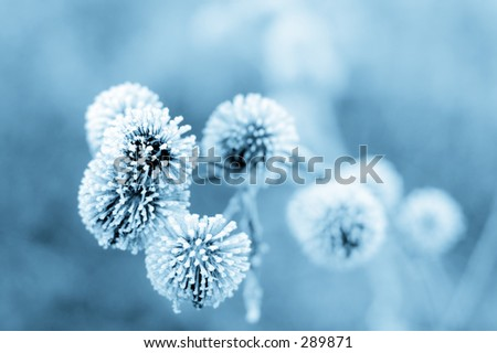 Frozen burdock plant + blue filter - stock photo