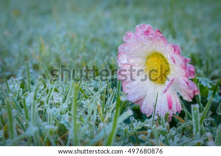 frozen daisy on the lawn