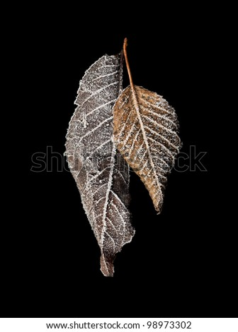 Frozen fallen dead autumn leaves with ice crystal isolated on dark background.