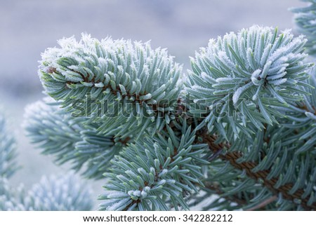 Frozen fir-tree branch