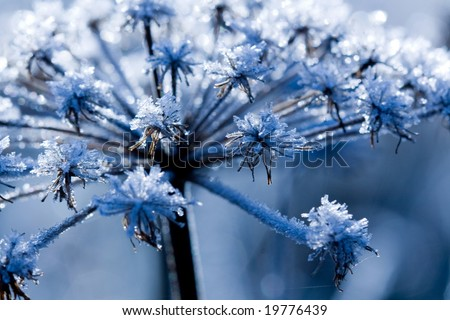 Frozen flower in the cold morning-blue - stock photo