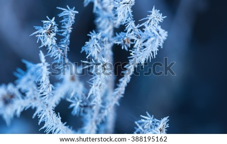 Frozen grass in winter hoarfrost ice crystals.