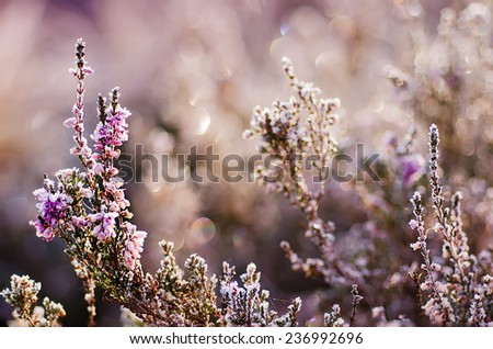 Frozen heather flower, floral vintage winter  background, macro image - stock photo