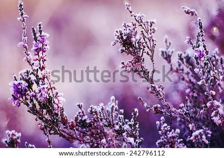 Frozen heather flower, floral vintage winter  background, macro image - stock photo