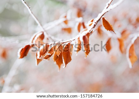 frozen leaves on the branch under the frost - stock photo
