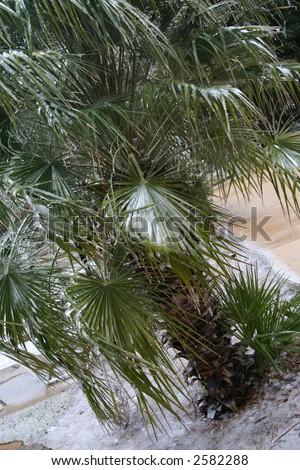 frozen palm tree in Texas - stock photo
