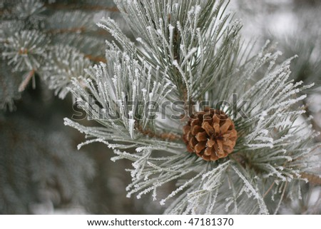 Frozen pine branch with pine-cone