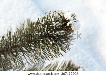 Frozen pine tree branches covered with snow