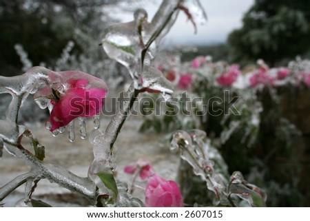 frozen pink flowers in Texas - stock photo