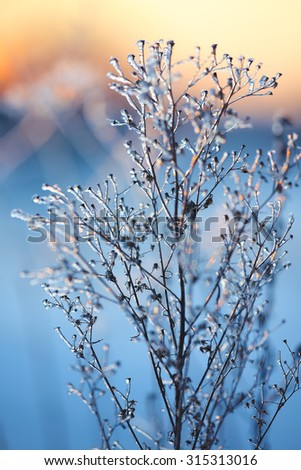 frozen plant. ice on plant at sunset - stock photo