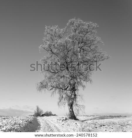Frozen tree on winter field in north Poland in black and white/Frozen tree on winter field - stock photo