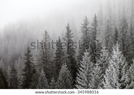 Frozen winter forest in the fog. Carpathian, Ukraine.