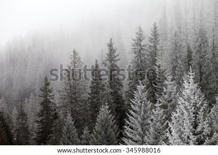 Frozen winter forest in the fog. Carpathian, Ukraine. - stock photo