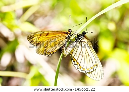 Fruhstorfer butterfly  mating, Taiwan - stock photo