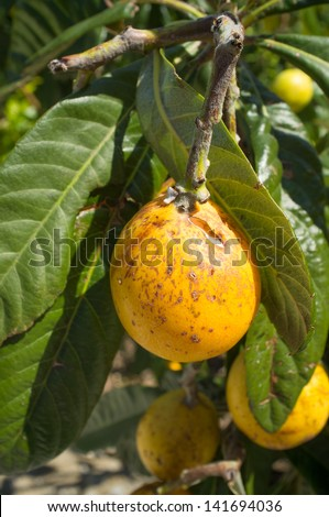 Fruit after suffering severe damage from hail and frost - stock photo