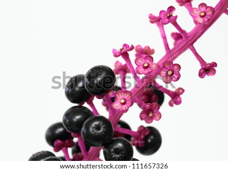 Fruit and calyx of the scoke - stock photo