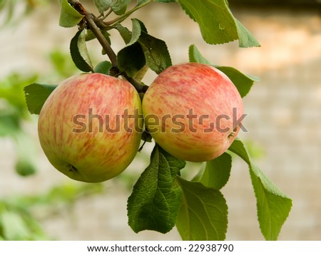 Fruit apples on a branch