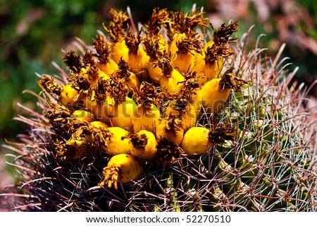 Barrel Cactus Fruit Fruit Atop a Fishhook Barrel