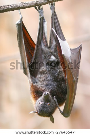 Bat Upside Down Stock Images, Royalty-Free Images ...