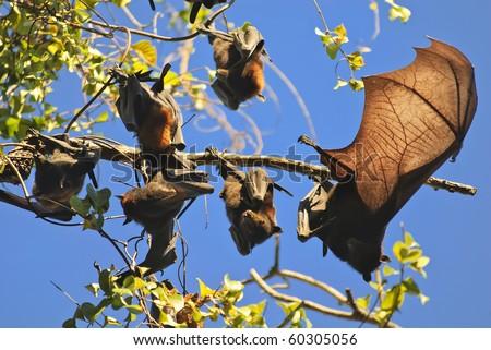 fruit bats, litchfield national park, northern territories, australia - stock photo