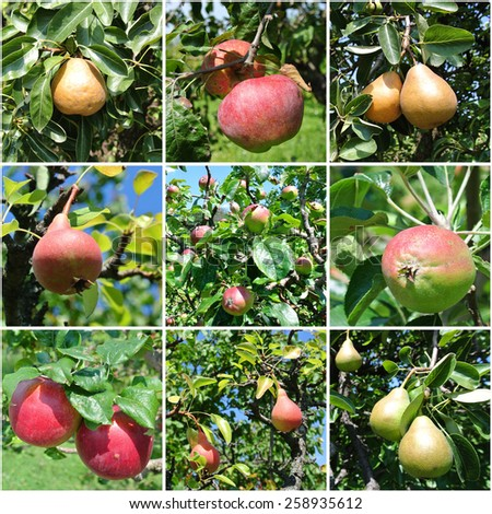 Fruit collage - ripe apples and pears on trees in an orchard. - stock photo