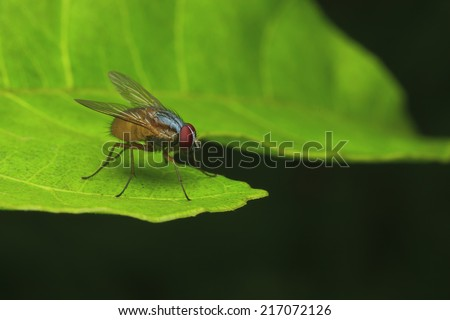 Fruit fly on a green leaf, thailand - stock photo