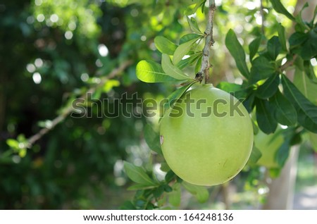 fruit of the Calabash tree in the garden - stock photo