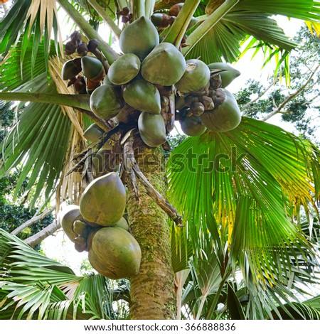 fruit on the tree coconut - stock photo