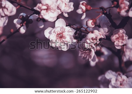 Fruit tree blossoms. Spring beginning background. Bokeh. Toned photo. Selective focus and shallow depth of field. - stock photo