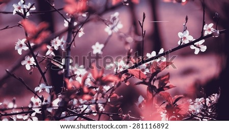 Fruit tree blossoms. Spring beginning background. Toned photo. Selective focus and shallow depth of field. Toned photo. - stock photo