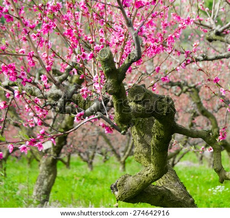 Fruit tree in bloom - stock photo