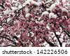 Fruit tree in blossom under snow - stock photo
