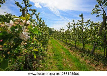Fruit trees in an orchard in spring