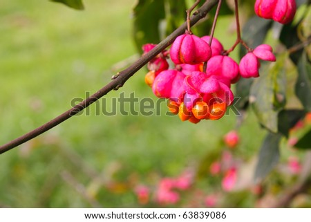 Fruits of spindle tree (Euonymus) - stock photo