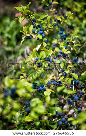 Fruits of the blackthorn (Prunus spinosa) - stock photo