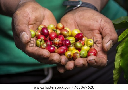 frutos de planta de cafe stock photo royalty free 763869628