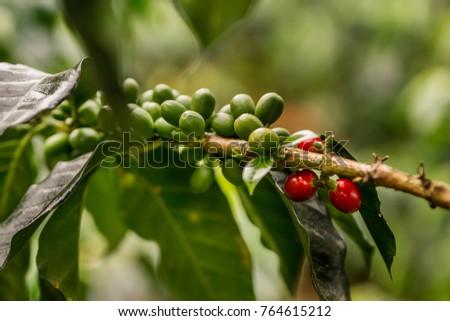 frutos de planta de cafe stock photo edit now 764615212 shutterstock