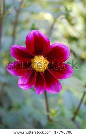 Fuchsia Dahlia - stock photo