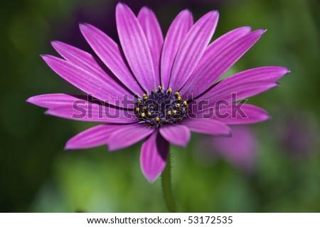 fuchsia daisy - stock photo