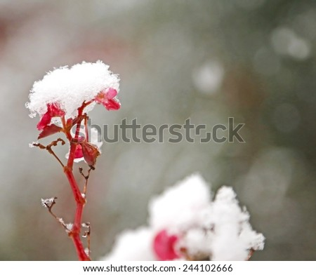 Fuchsia flower white snow-covered in the cold in winter garden - stock photo
